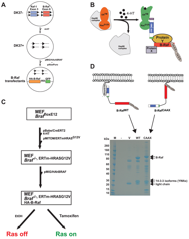 Principle and workflow of the model systems for proteomic studies of B-Raf complexes.