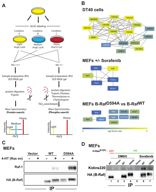 SILAC-based MS reveals inducible B-Raf protein complexes.