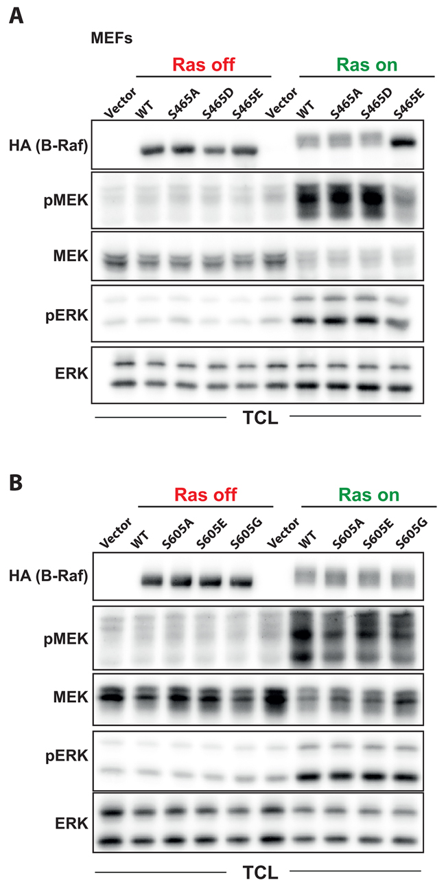 Functional characterization of the phosphorylation sites S465 and S605 in oncogenic Ras signaling.