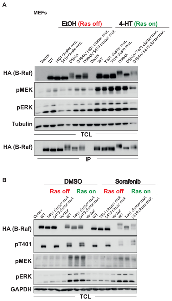 The HR phosphorylation clusters contribute to the EMS associated with B-Raf inhibition or inactivity.