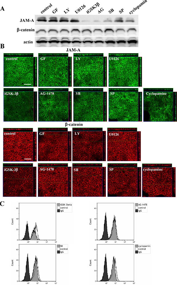 Western blotting (A) and immunocytochemical staining (B) for JAM-A and β-catenin and flow cytometry (C) for JAM-A in Detroit562 cells treated with various inhibitors.