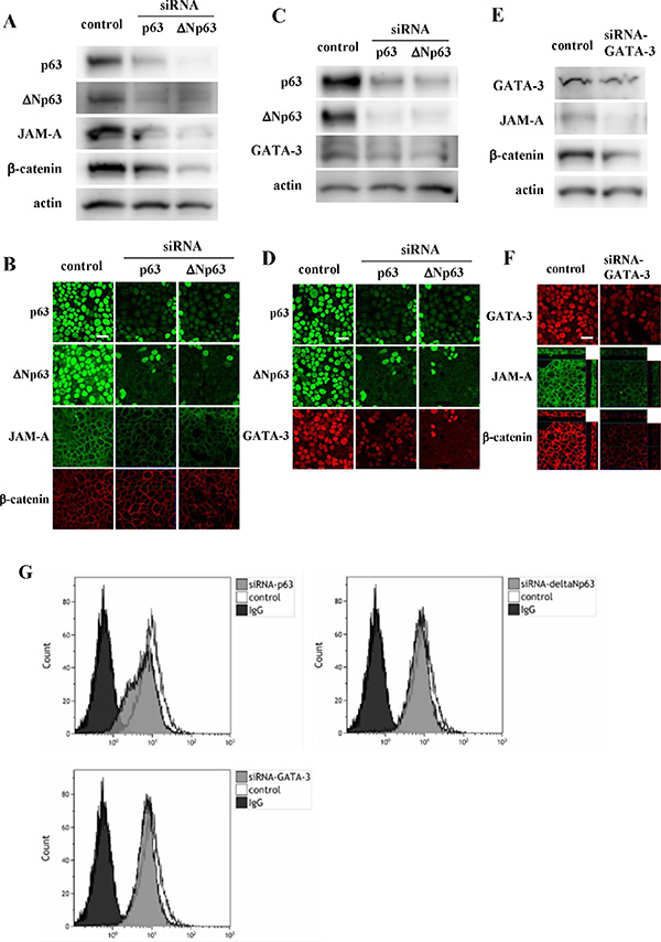 Western blotting (A, C, E) and immunocytochemical staining (B, D, F) for p63, ΔNp63, JAM-A and β-catenin in Detroit562 cells transfected with siRNAs of p63, ΔNp63 and GATA-3.