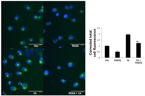 RASSF1A blocks Rheb suppression of autophagy.