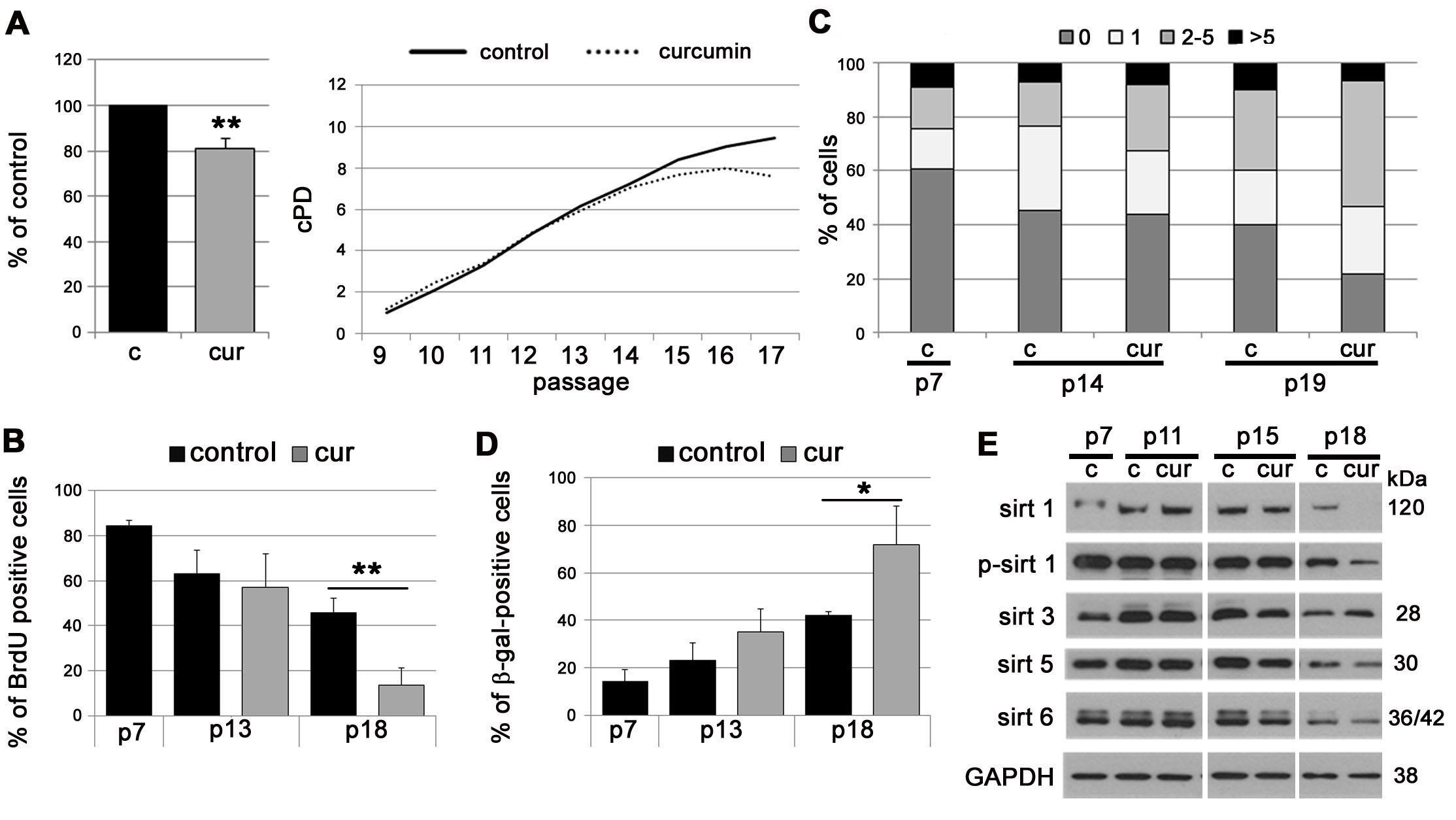 The impact of curcumin on replicative senescence of EC.