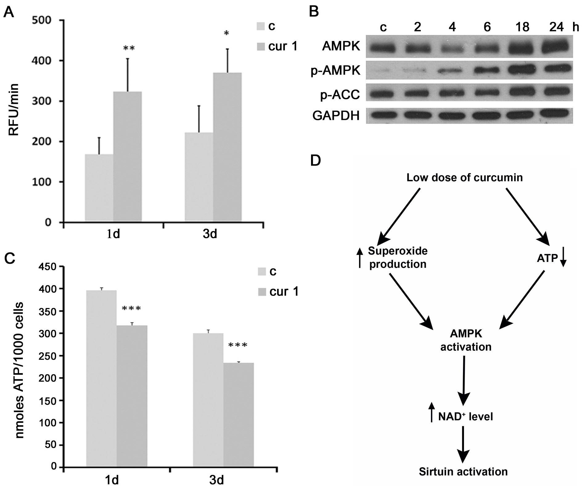 The impact of curcumin on superoxide production, AMPK activity and ATP level.