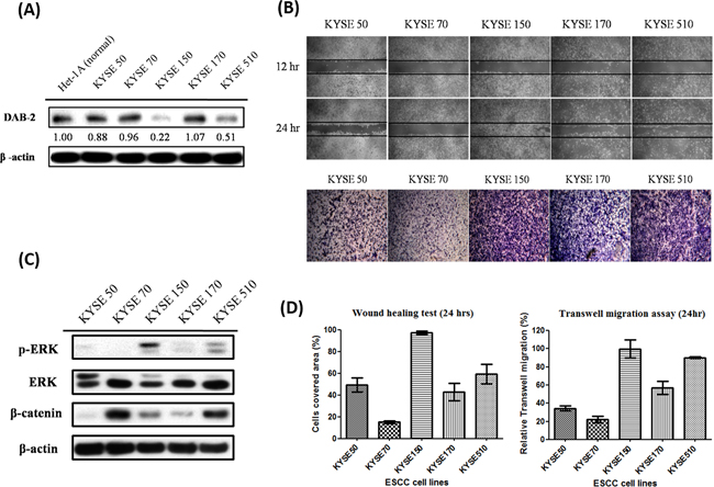 The low-DAB2 esophageal cancer cells had a higher phosphorylated ERK (p-ERK) expression and migration abilities.