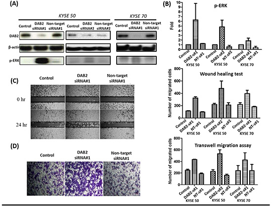 The down-regulation of DAB2 by siRNA in high-DAB2 cell lines promoted ERK phosphorylation and cell motility.