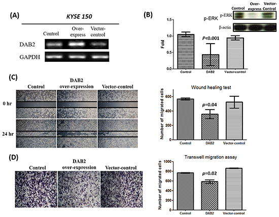 The over-expression of DAB2 can suppress ERK phosphorylation and cancer cell motility.
