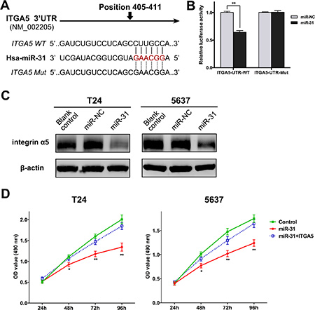 ITGA5 is a direct target of miR-31 in UBC cells.