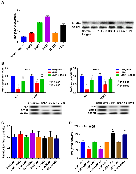 Expression and regulation of STOX2 in OSCC cells.