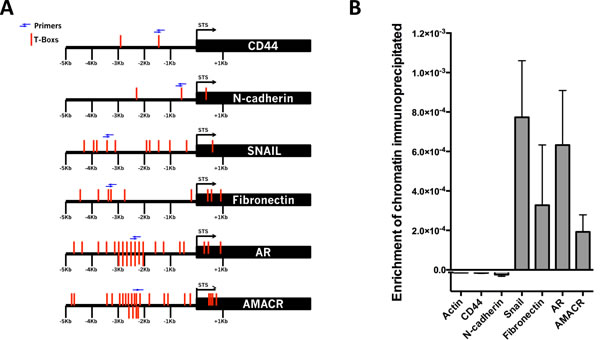 Brachyury directly binds to the promoter regions of Snail, Fibronectin, AMACR and AR.