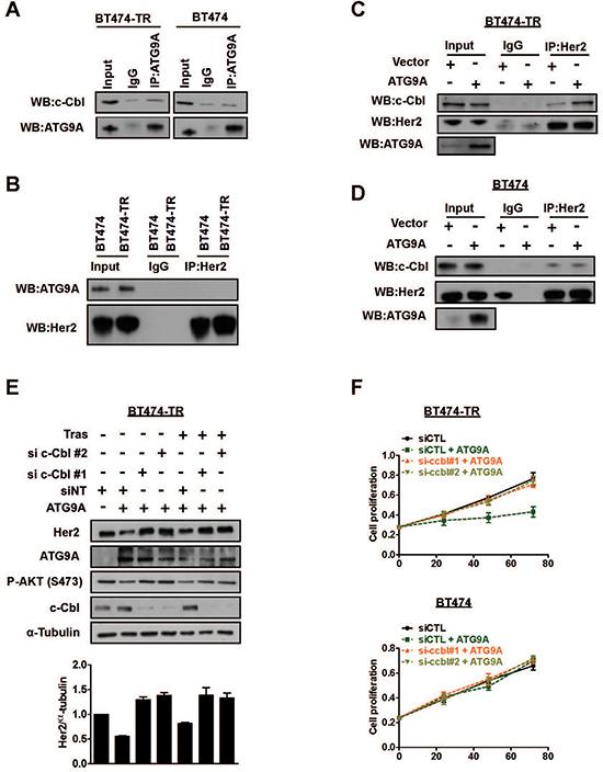 ATG9A induces Her2 protein degradation via c-Cbl E3 ubiquitin ligase.
