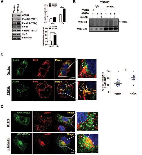 c-Cbl induces K63 Her2 polyUb redirecting for lysosomal targeted degradation.