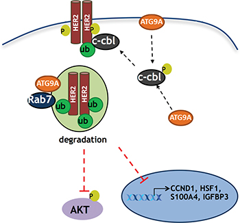 Schematic model of ATG9A's role in trastuzumab resistant cells.