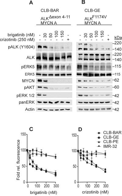 Brigatinib inhibits ALK activity and proliferation of ALK addicted neuroblastoma cell lines.