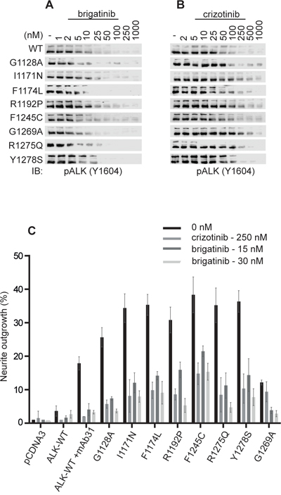 Brigatinib effectively blocks ALK activation and ALK-mediated neurite outgrowth in PC12 cells.