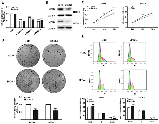 Knockdown of CDK4 can inhibit cell proliferation and impede cell-cycle progression in NSCLC cell lines.