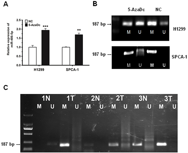 The downregulation of miR-486-5p is due to the hyper-methylation of the miR-486-5p promoter region in NSCLC tissues and cell lines.