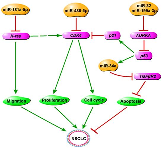 The regulatory network of miR-486-5p in NSCLC.