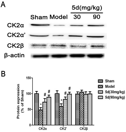 Effects of 5d on CK2α, CK2α'and CK2β protein levels in the brains of rats after I/R.