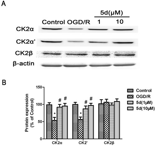 Effects of 5d on CK2α, CK2α'and CK2β protein levels in cortical neurons after OGD/R.