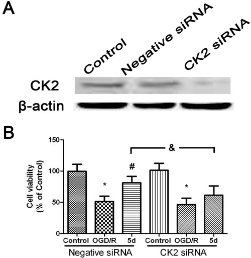 5d increased the neuronal viability through up-regulation of CK2 expression.
