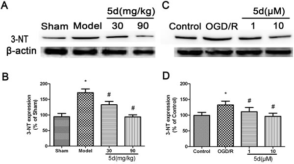 Effects of 5d on 3-NT protein expression in the brains of rats after I/R and in cortical neurons after OGD/R.