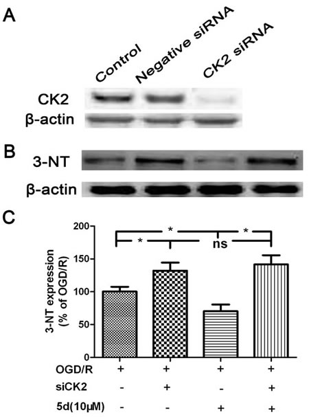 CK2 negatively modulate the expression of 3-NT protein.
