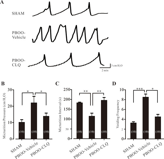 Chloroquine treatment improves the bladder function of PBOO mice.