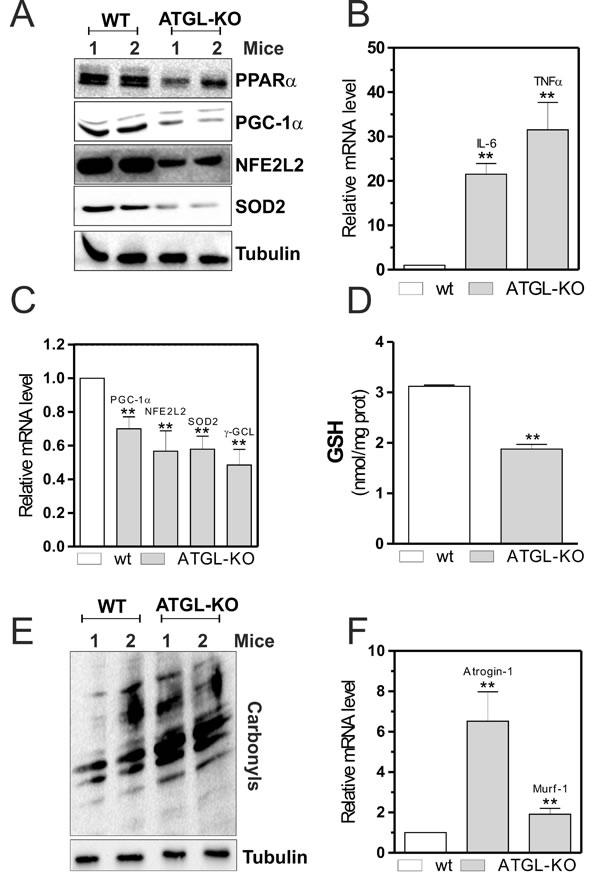 PPARα-PGC-1α-mediated antioxidant pathway, oxidative stress and skeletal muscle degeneration in ATGL-KO mice.