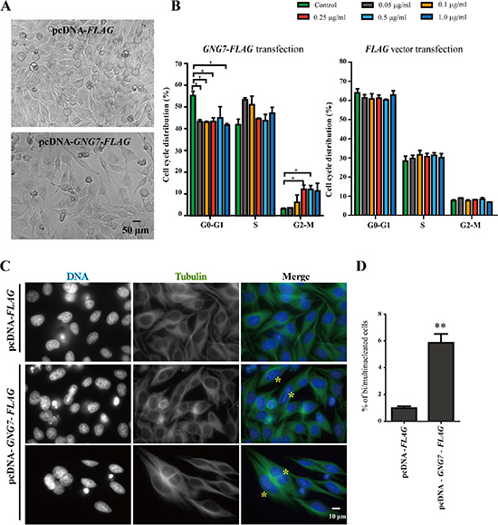 GNG7 overexpression arrests cells in M phase.