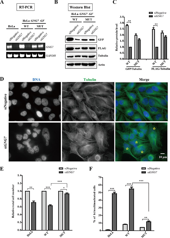 GNG7 RNAi induces bi/multinucleated cells and reduces cell number.
