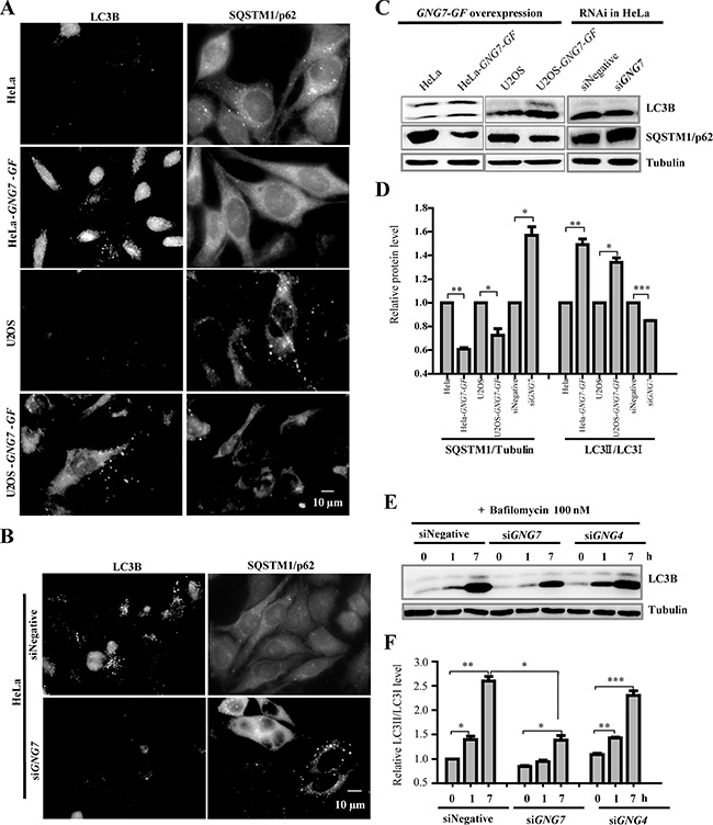 GNG7 induces autophagy in cells.