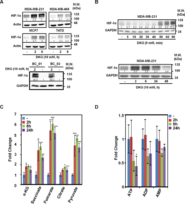 Dimethyl-2-ketoglutarate (DKG) induces HIF-1α and alters the metabolic profile in breast cancer (BC) cells.