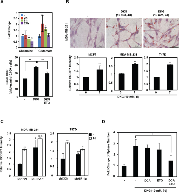 DKG regulates glutamine-dependent reductive carboxylation.