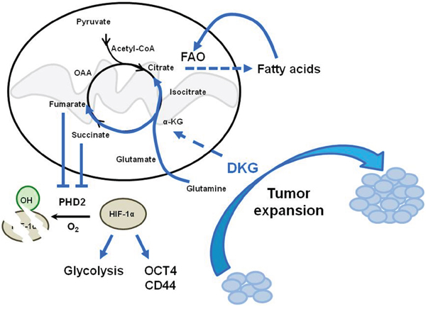 Model depicting the dual function of DKG to induce tumorigenic properties in BC cells through co-opting a pseudohypoxic pathway and metabolic rewiring.