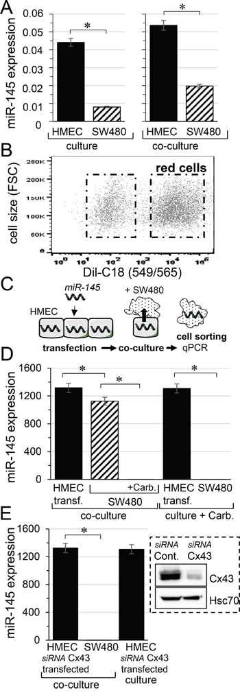 Micro-RNA transfer from microvascular endothelium (HMEC) to colorectal cancer cells (SW480).
