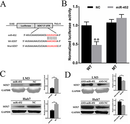 Sox7 was a direct and functional target of miR-452 in HCC.