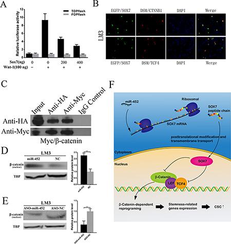 miR-452 targeted SOX7 involving Wnt/β-catenin signaling pathway.