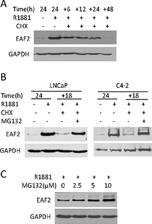 The effect of cyclohexamide (CHX) and/or MG132 on endogenous EAF2 protein level in prostate cancer cells.