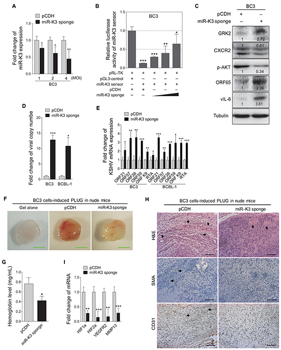 Inhibition of miR-K3 in KSHV latently infected PEL cells induces KSHV lytic replication and inhibits angiogenesis.