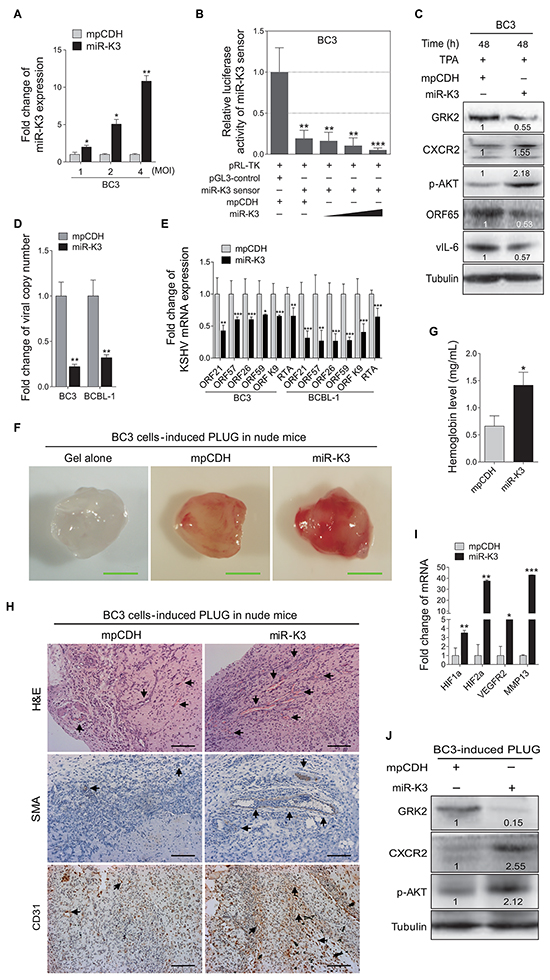 Overexpression of miR-K3 in KSHV latently infected cells inhibits KSHV lytic replication and promotes angiogenesis.