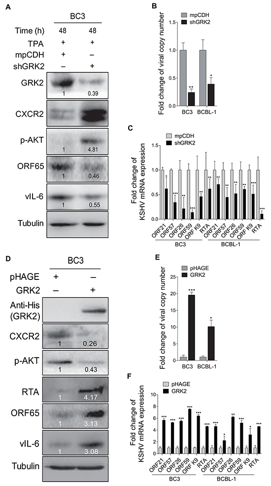 GRK2 contributes to reactivation of KSHV from latency.