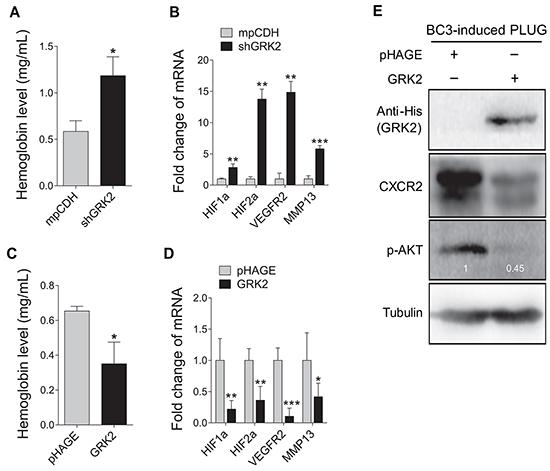 GRK2 inhibits angiogenesis induced by KSHV.