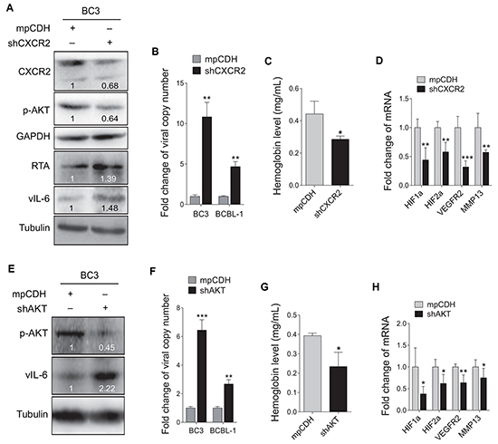 Inhibition of CXCR2/AKT pathway disrupts KSHV latency and suppresses angiogenesis.