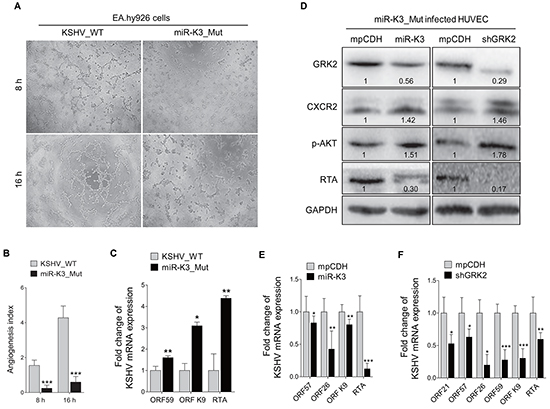Deletion of miR-K3 from the KSHV genome reactivates KSHV lytic replication but inhibits angiogenesis.
