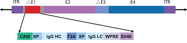 Full-length cetuximab antibody expression cassette.