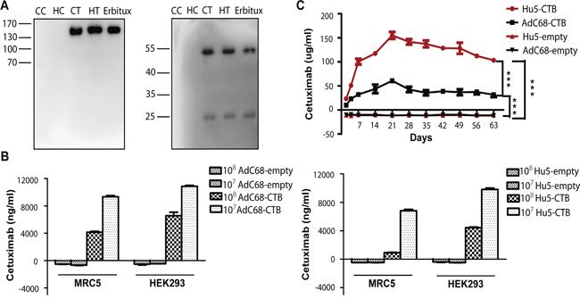 Ad-anti-EGFR antibodies expression in vivo and in vitro.