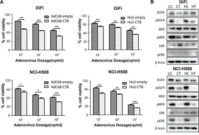 AdC68-CTB and Hu5-CTB inhibits cell proliferation by reduced activation of EGFR, ERK and MEK.
