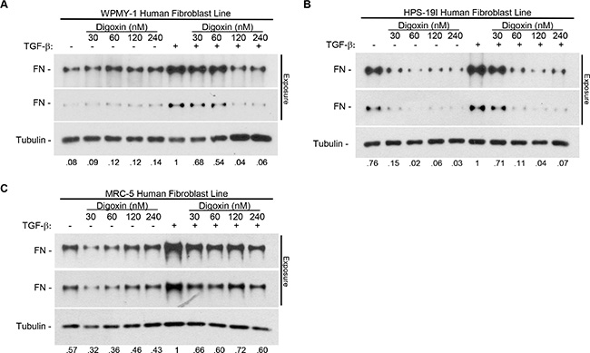 Digoxin prevents TGF-β-induced fibronectin expression in a dose dependent manner in multiple human fibroblast cell lines.